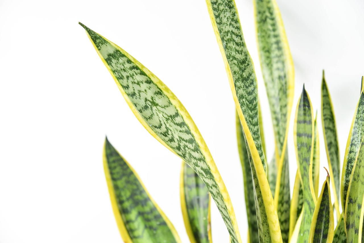 金邊虎尾蘭