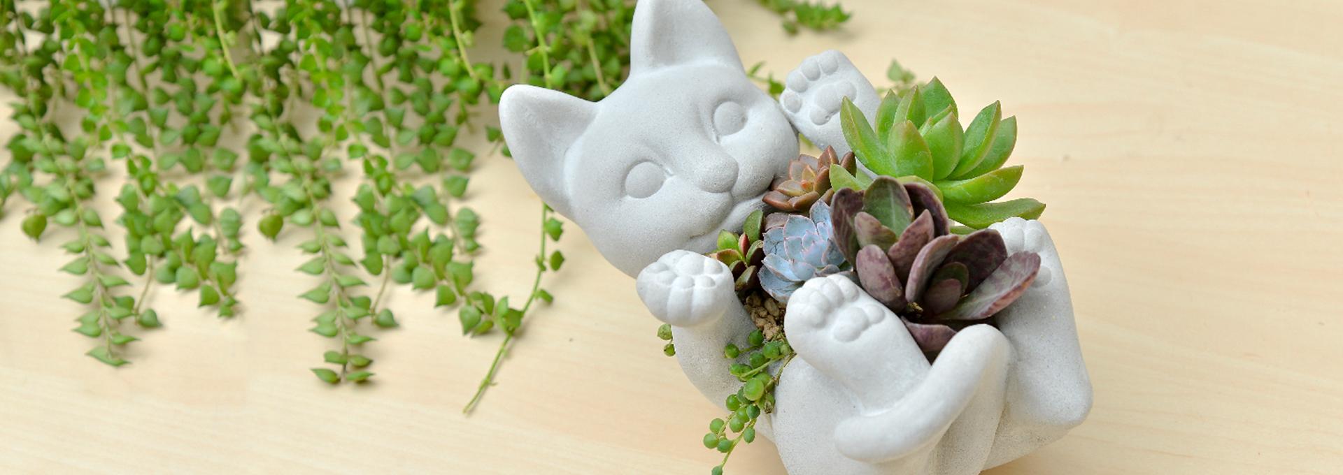 貓咪 多肉 多肉植物 老樂 黃麗 虎斑伽藍葉 百萬心