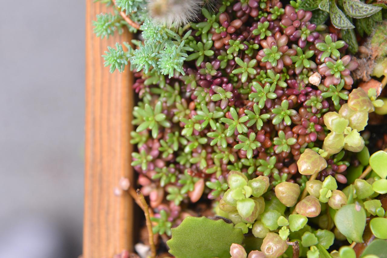 紅色多肉植物 冬天 有肉 紫米飯