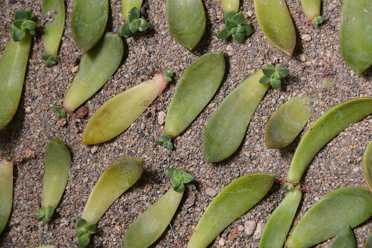 有肉-葉孵多肉 葉孵成果 加州夕陽 多肉植物 多肉植物繁殖