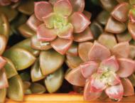 多肉植物週報