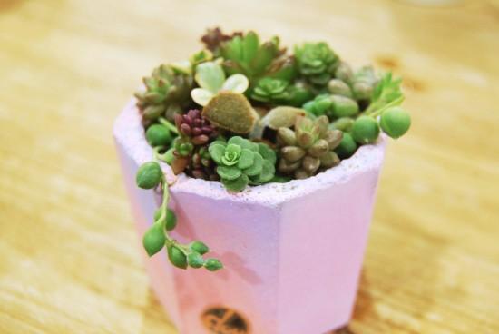 多肉植物繽紛組盆多肉寶寶 鮮豔 荳荳 水泥盆