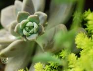 多肉植物 冬美人的花梗