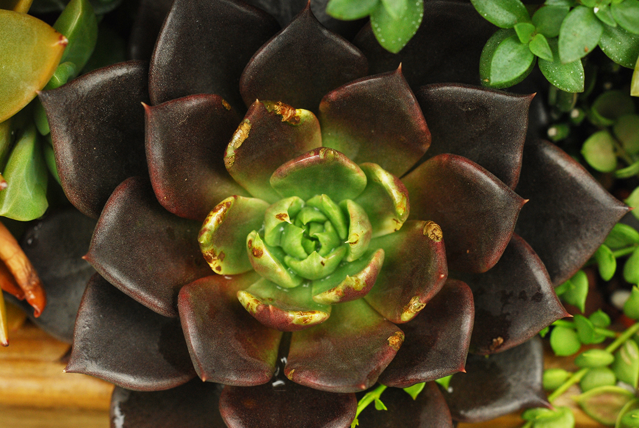 多肉植物黑王子介紹,中心青綠色是因為植物日照不足的關係