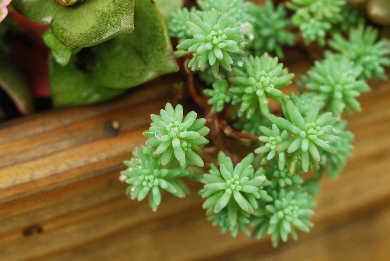 多肉植物 萬年草系列,適合在春天生長