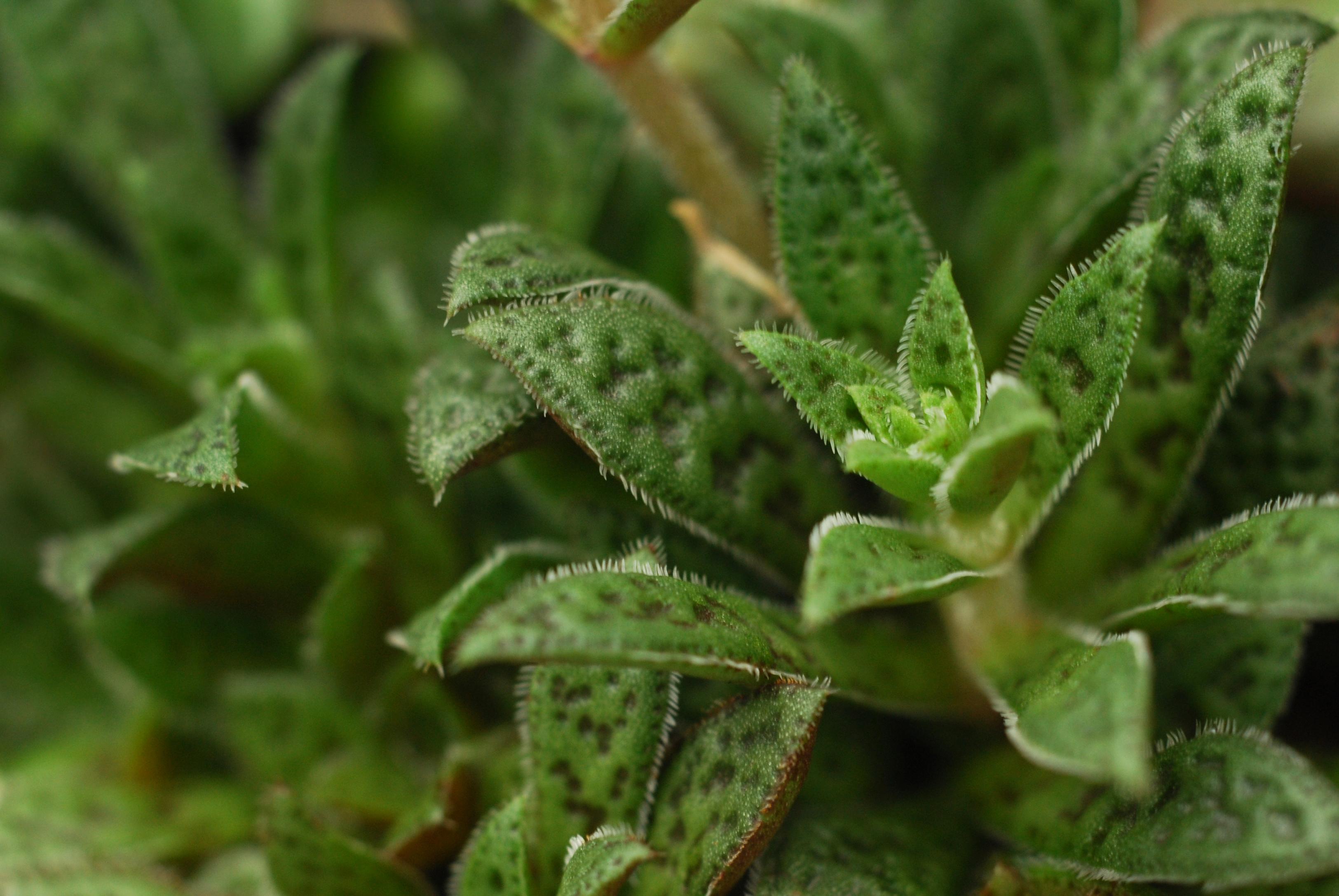 多肉植物花簪,是一品長相特殊的多肉植物
