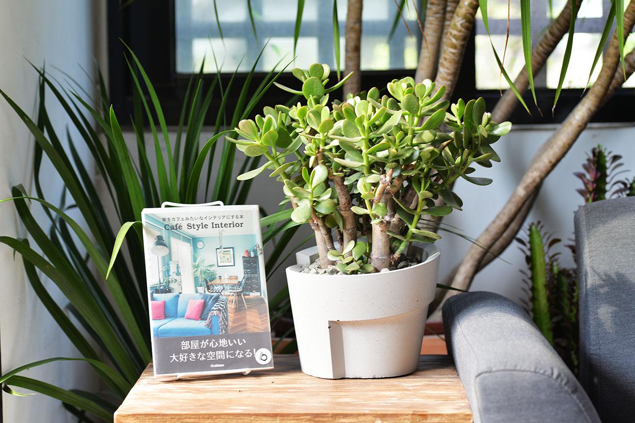 發財樹桌上型盆栽