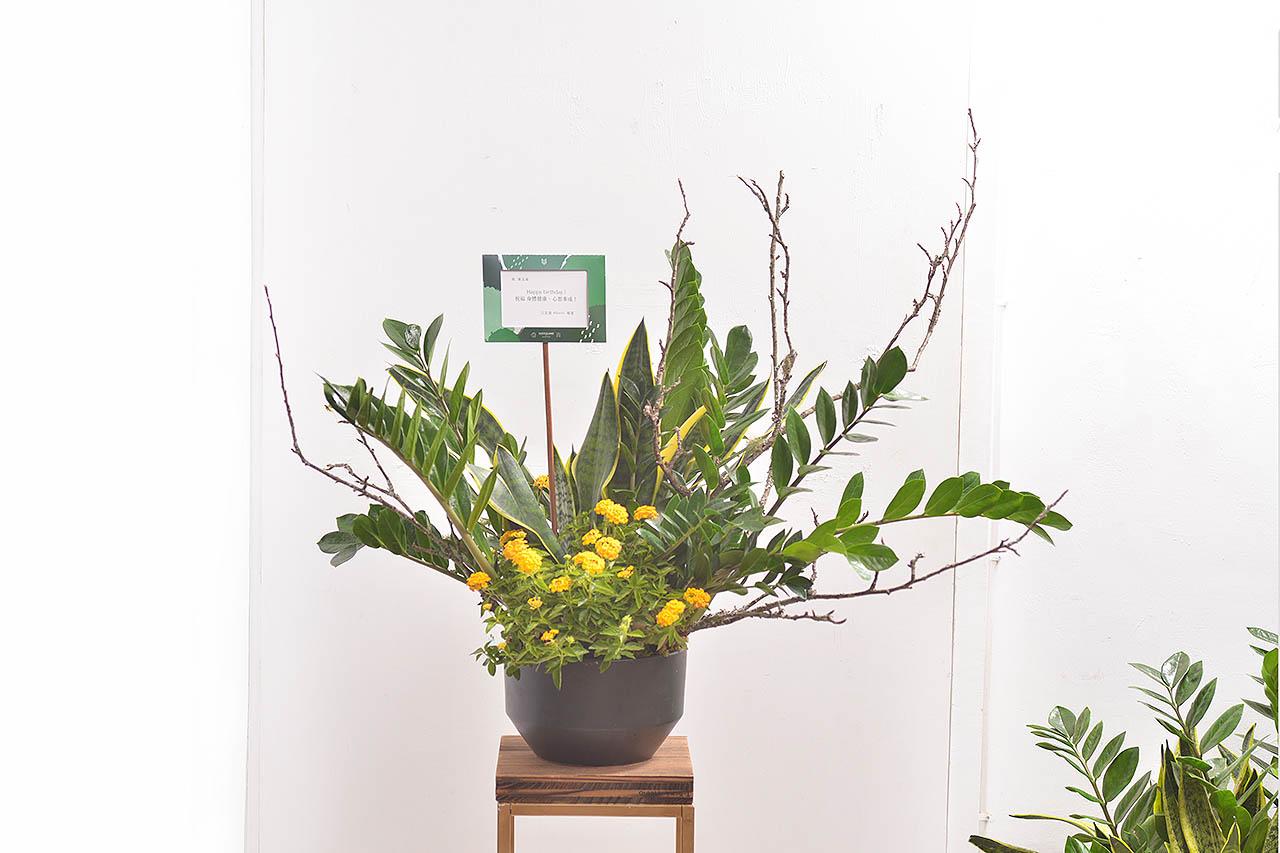 金錢樹盆栽 - 黃金組盆 1