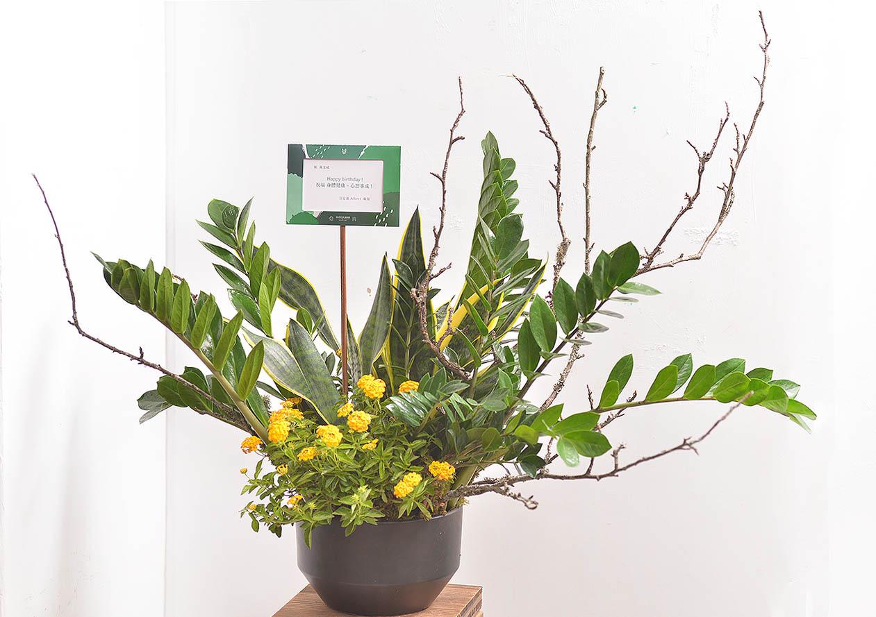 金錢樹盆栽 - 黃金組盆 2
