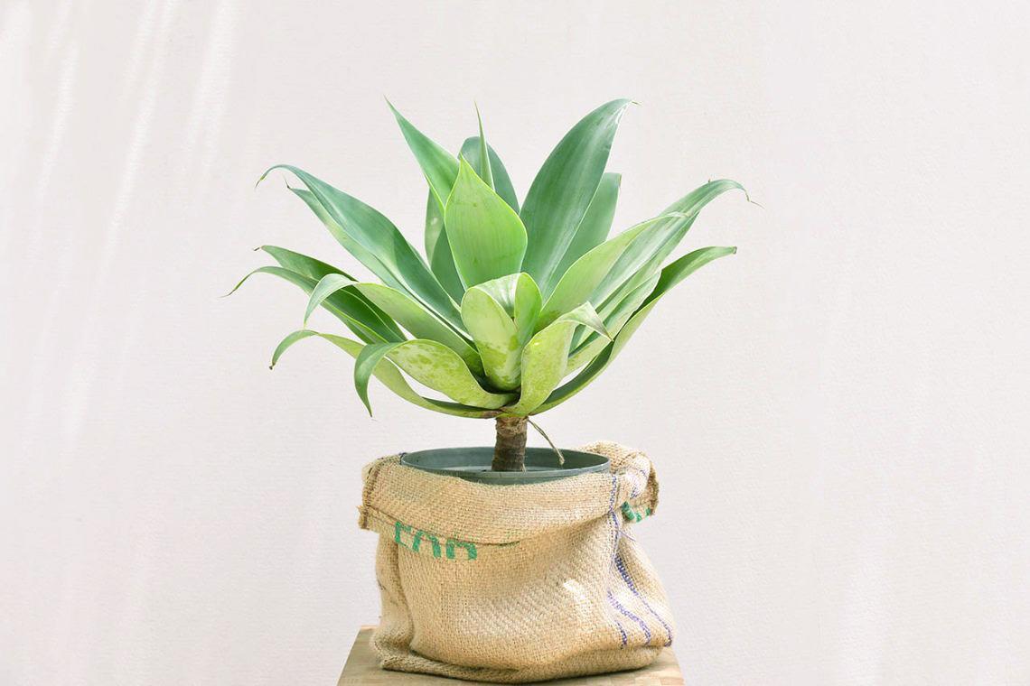 龍舌蘭盆栽-居家大型植物