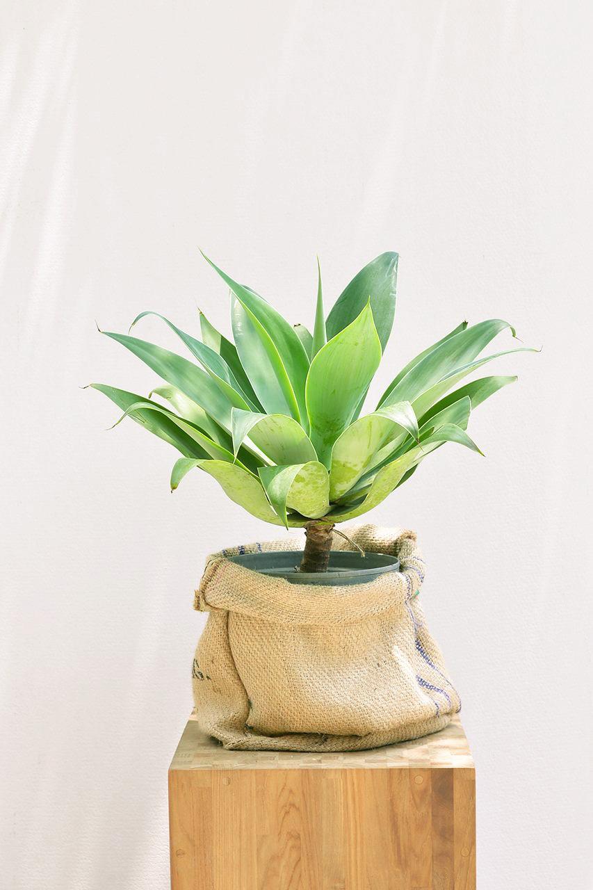 龍舌蘭盆栽與麻布袋