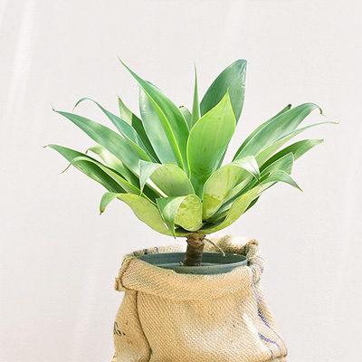龍舌蘭-居家大型植物