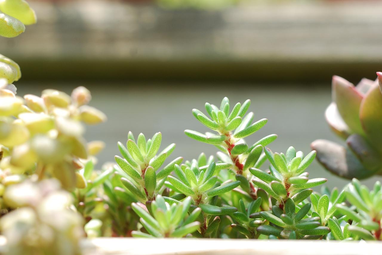 綠色的紫米飯,生長的很茂密的多肉植物