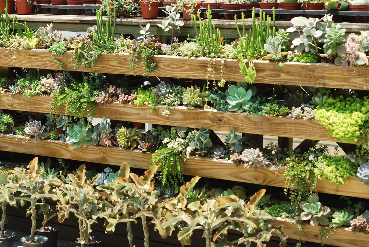 多肉牆:多肉花園的多肉植物,臥地延命草都攀爬出來了呢