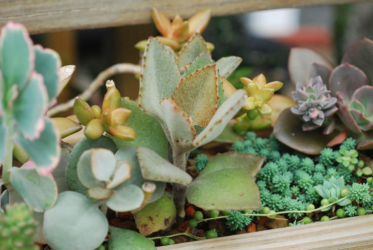 玫葉兔耳 戶外種植