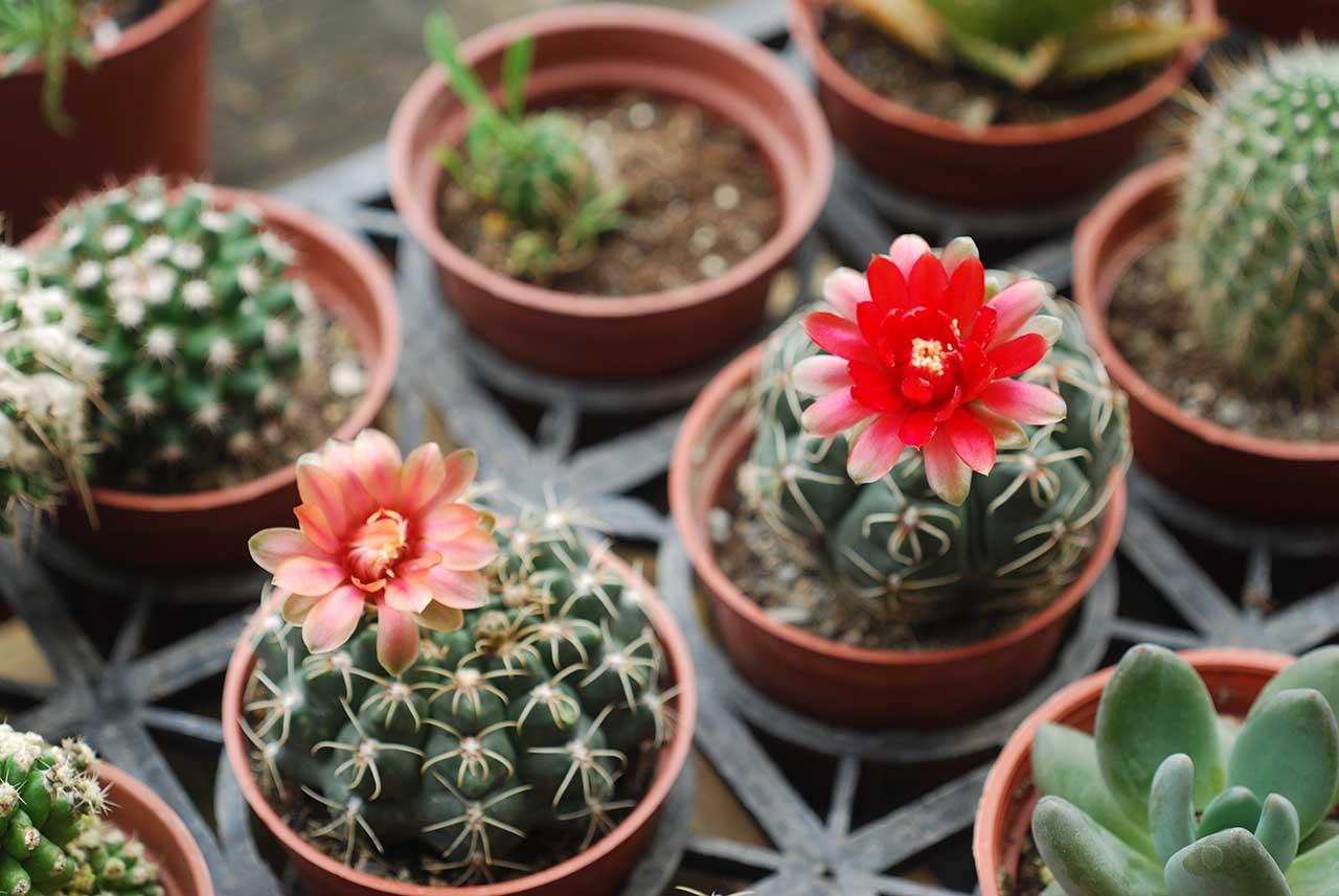 夏季多肉植物仙人掌 鮮紅花