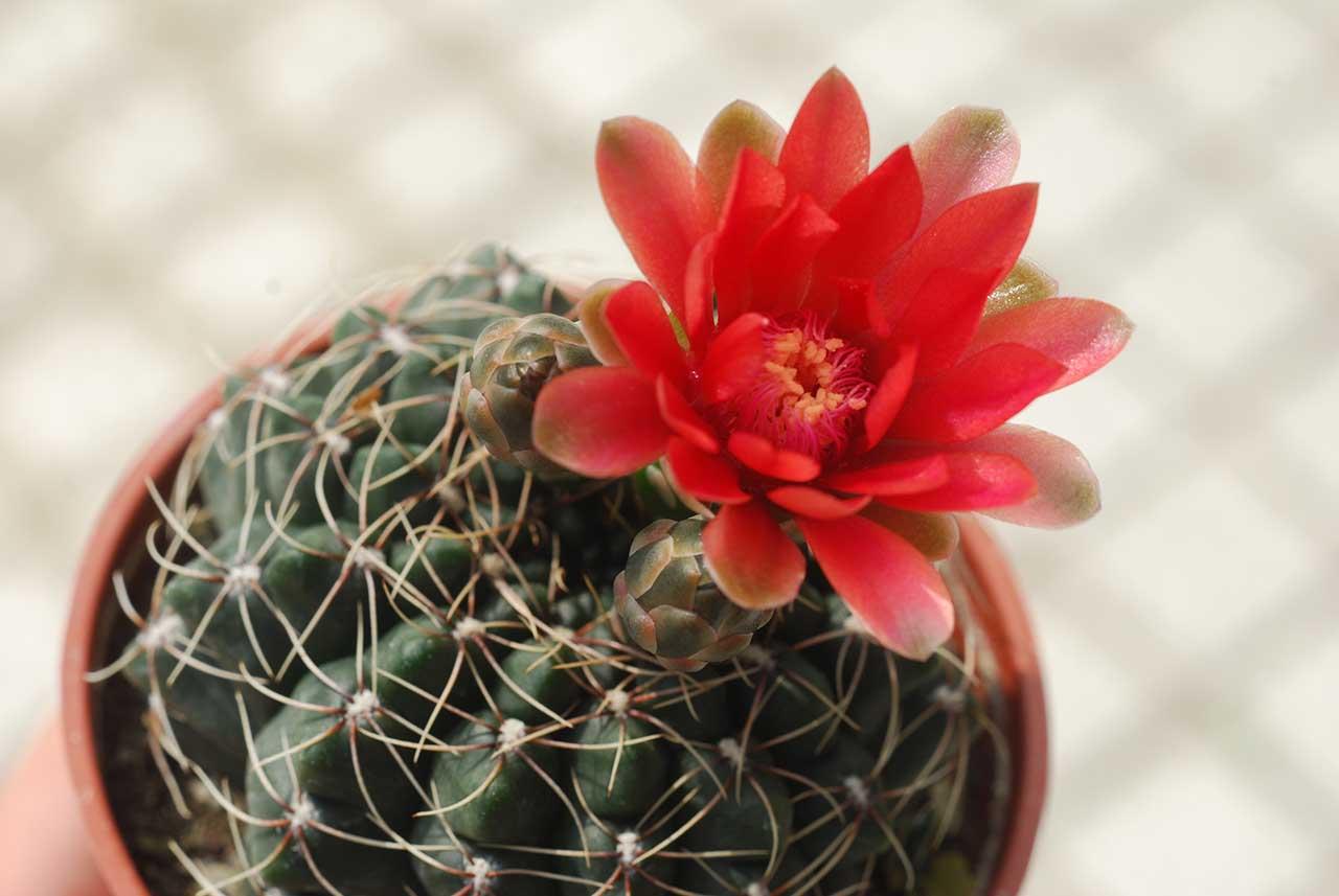 夏季多肉植物仙人掌 鮮紅花2
