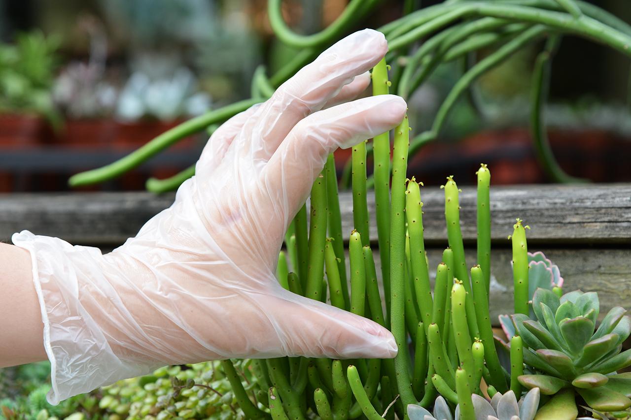 繁殖珊瑚大戟 測量多肉植物長度  大戟科 多肉 多肉植物 珊瑚大戟 qaeuphorbialeucodendron 扦插 繁殖