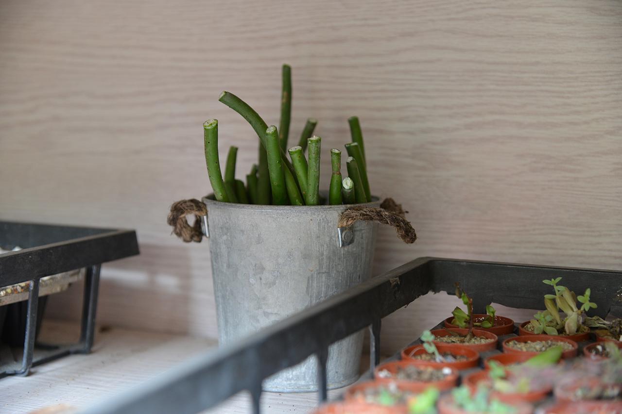 繁殖珊瑚大戟 可愛的療癒多肉植物 收集放涼到陰暗處 靜置幾天 大戟科 多肉 多肉植物 珊瑚大戟 qaeuphorbialeucodendron 扦插 繁殖