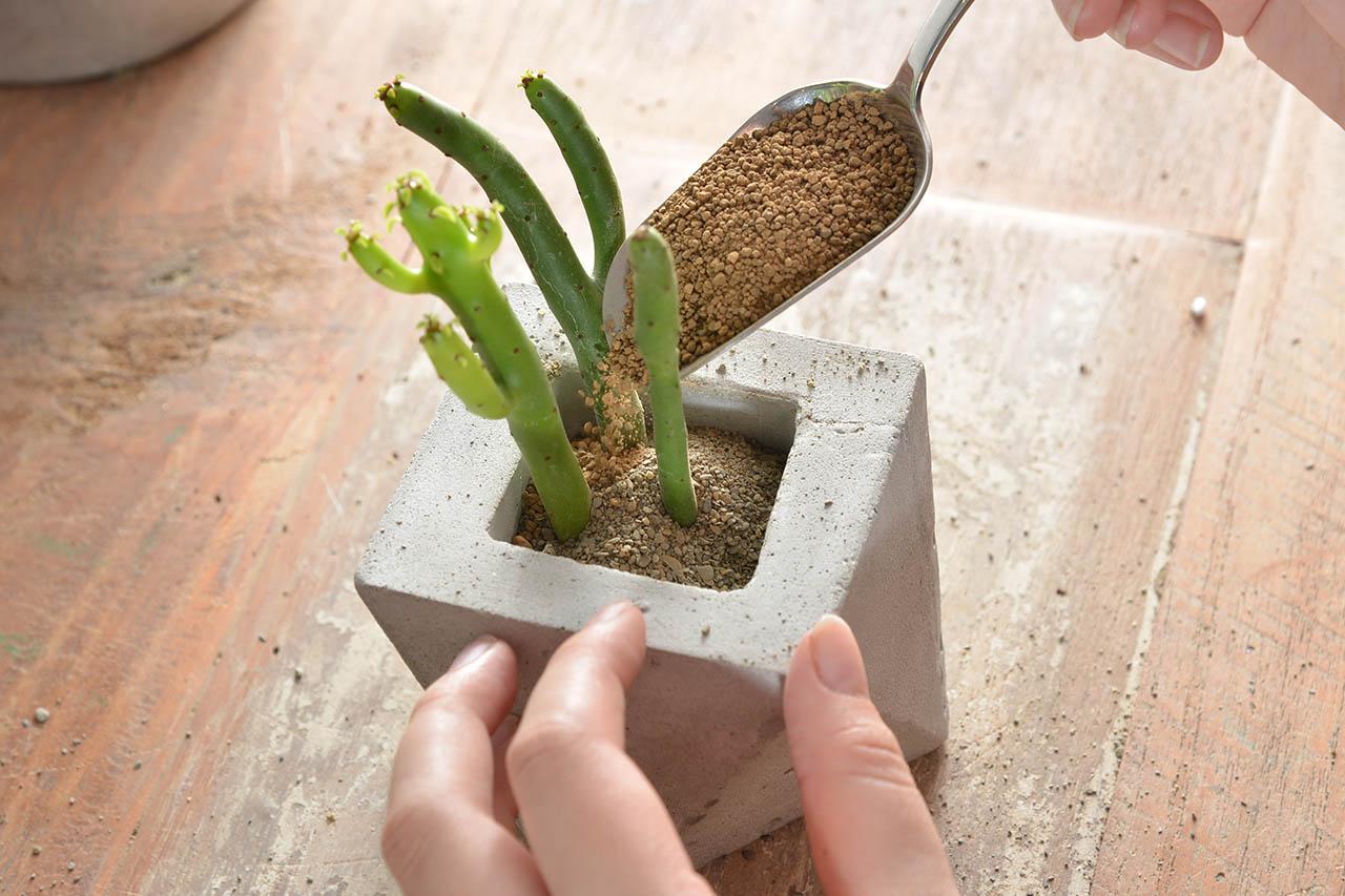 大戟科 多肉 多肉植物 珊瑚大戟 qaeuphorbialeucodendron 扦插 繁殖