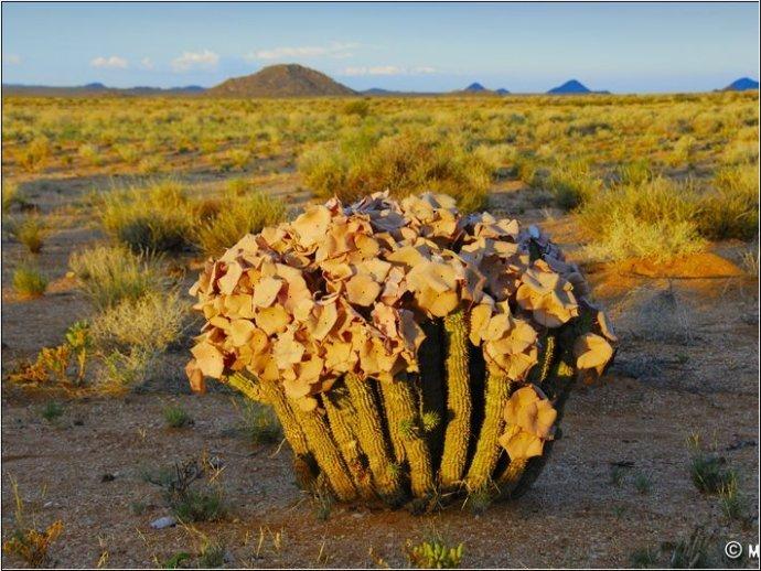 世界多肉地圖:南非 納馬庫蘭(多肉迷一生必定要造訪的聖地) f 9413842 1