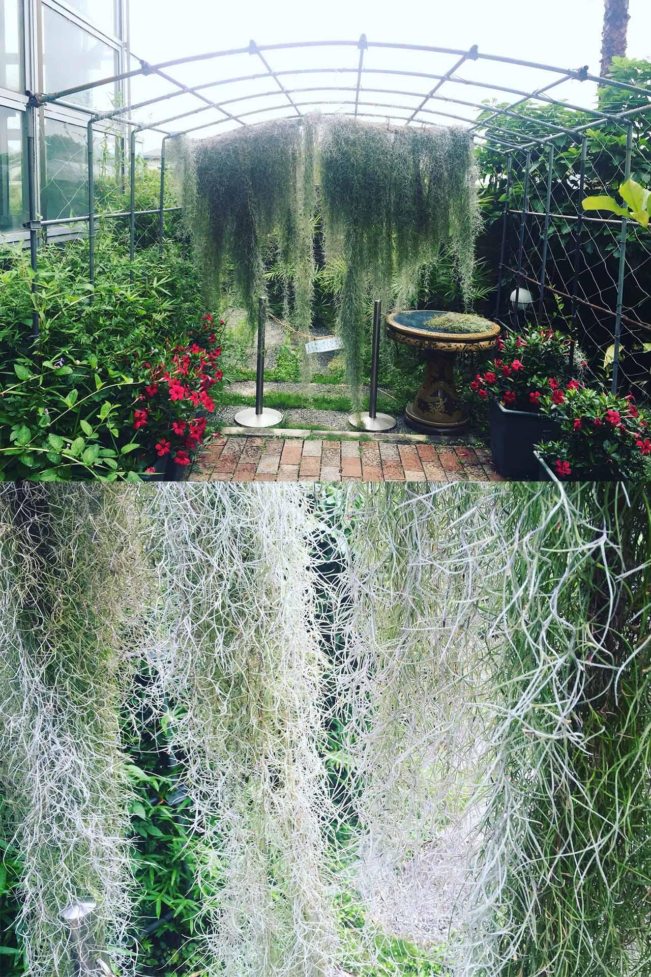 鮮花競放館內的空氣鳳梨-松蘿