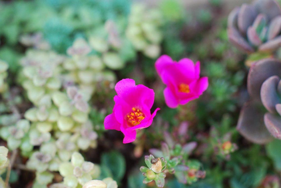 有肉多肉牆 | 白鳳 姬松葉牡丹開花 中介殼蟲的玫葉景天 (2016/6/4) 1