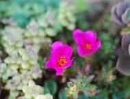 有肉多肉牆 | 白鳳 姬松葉牡丹開花 中介殼蟲的玫葉景天 (2016/6/4) DSC 0431