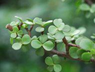 室內種植 NG 的多肉植物 (1):銀杏木 雅樂之舞 DSC 0521