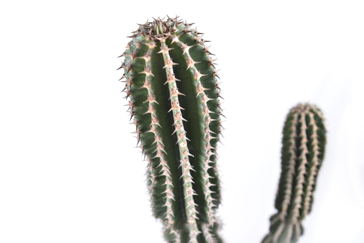 大正 大型仙人掌盆栽 大正植物細節