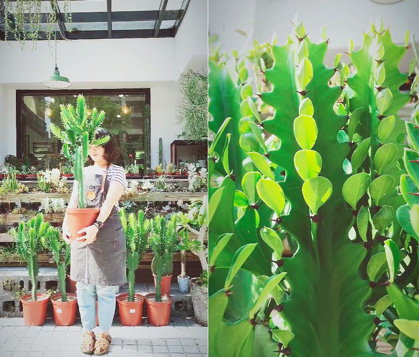 大型仙人掌現貨,可以隨時搭配不同的花盆,立刻融入不同的裝潢環境
