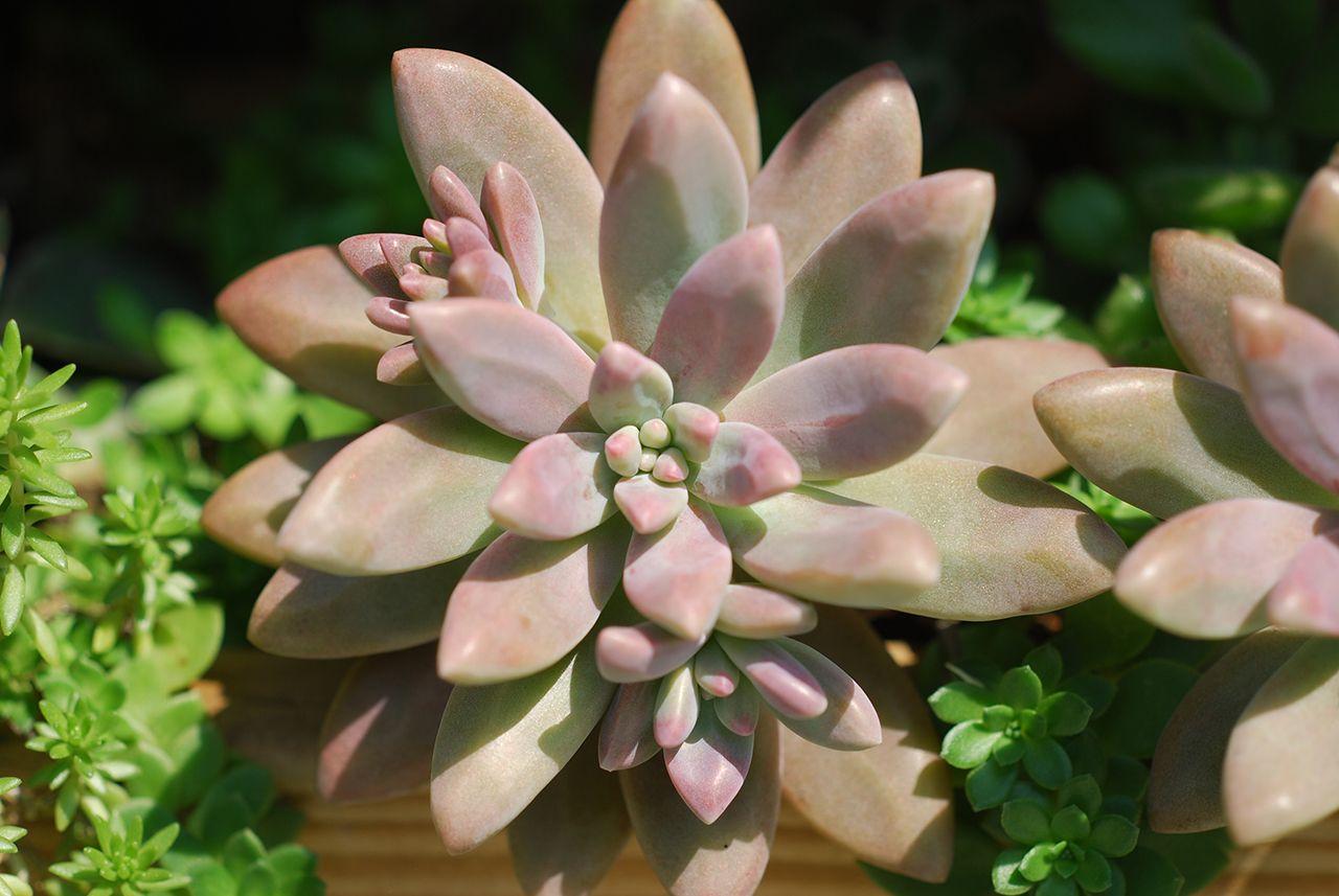 多肉植物與花青素