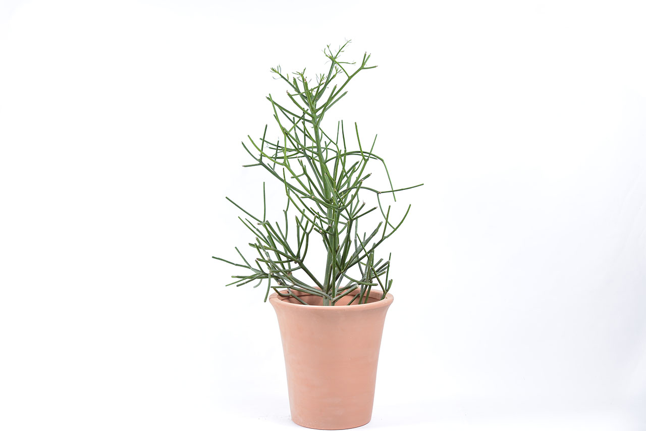 綠珊瑚盆栽搭配長形塑燒陶盆,是入厝送禮的好選擇