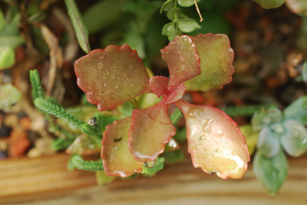 朱蓮 紅色的多肉植物