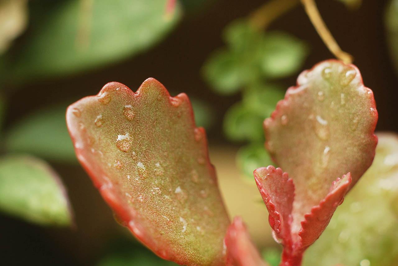 朱蓮 多肉植物