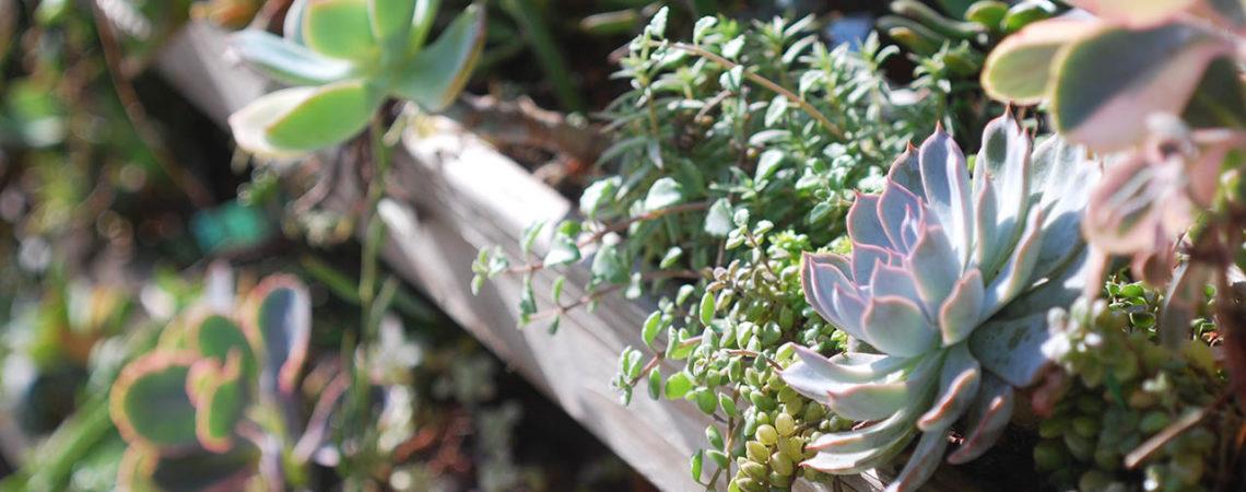 多肉植物圖鑑:皺葉麒麟 月之光 姬松葉牡丹開花 1