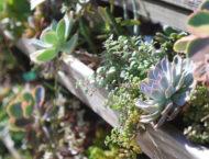 多肉植物圖鑑:皺葉麒麟 月之光 姬松葉牡丹開花 16