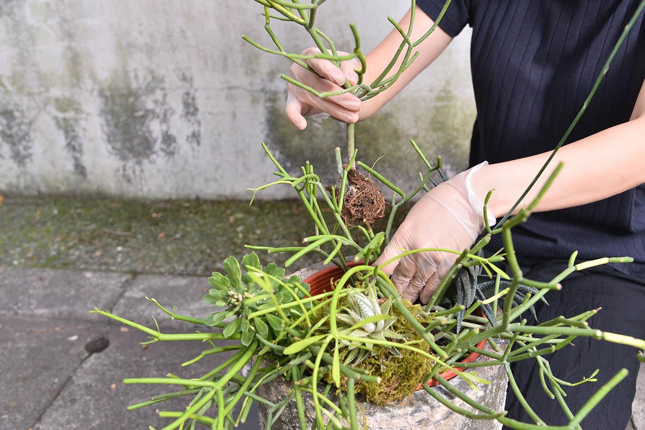 將多肉植物連根放入盆栽內