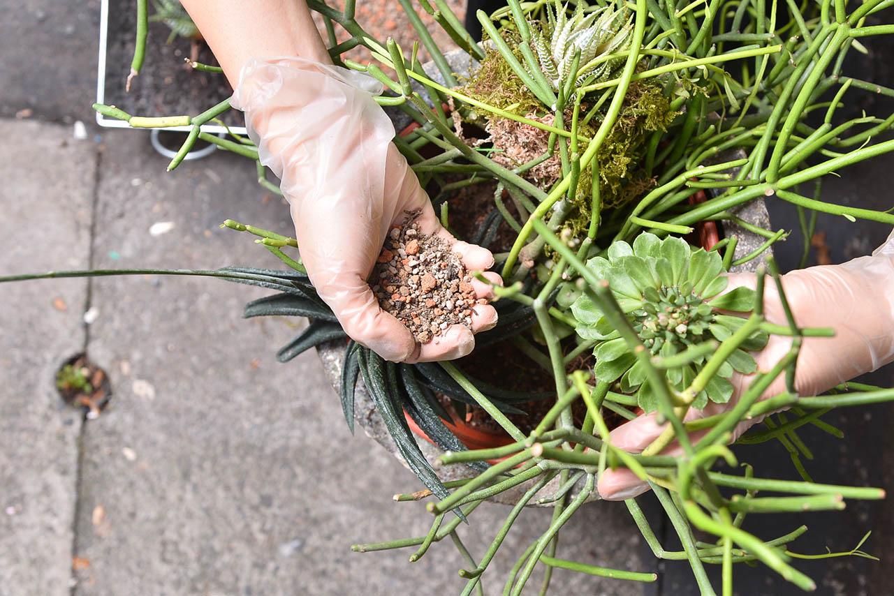 多肉植物專用土使用,將土放進盆栽中