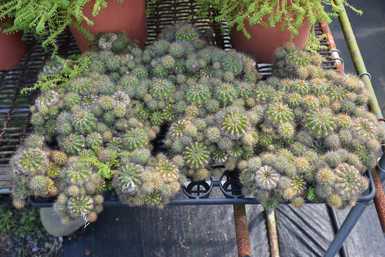高雄仙人掌盆栽