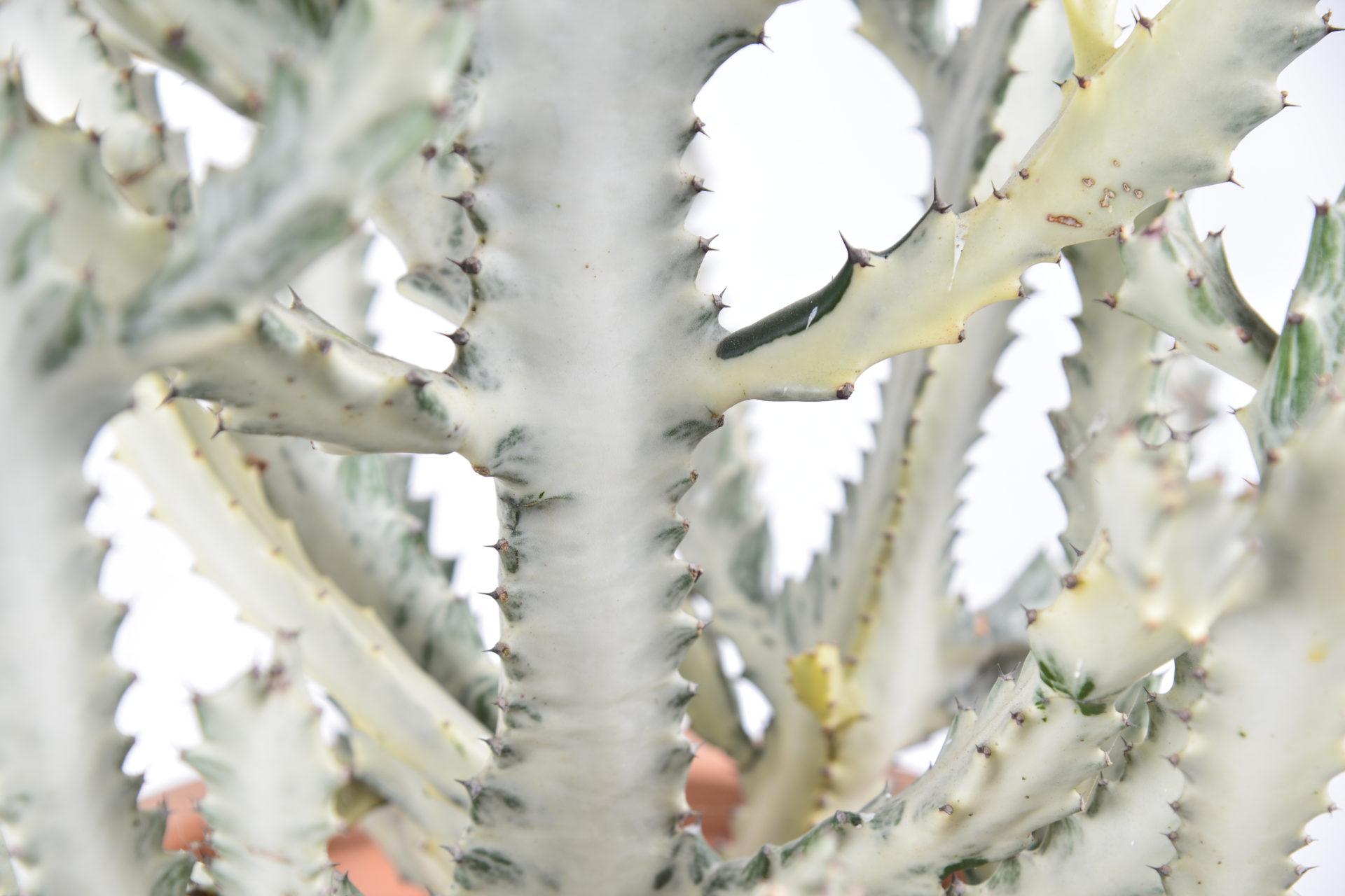帝錦 大型仙人掌盆栽 細節