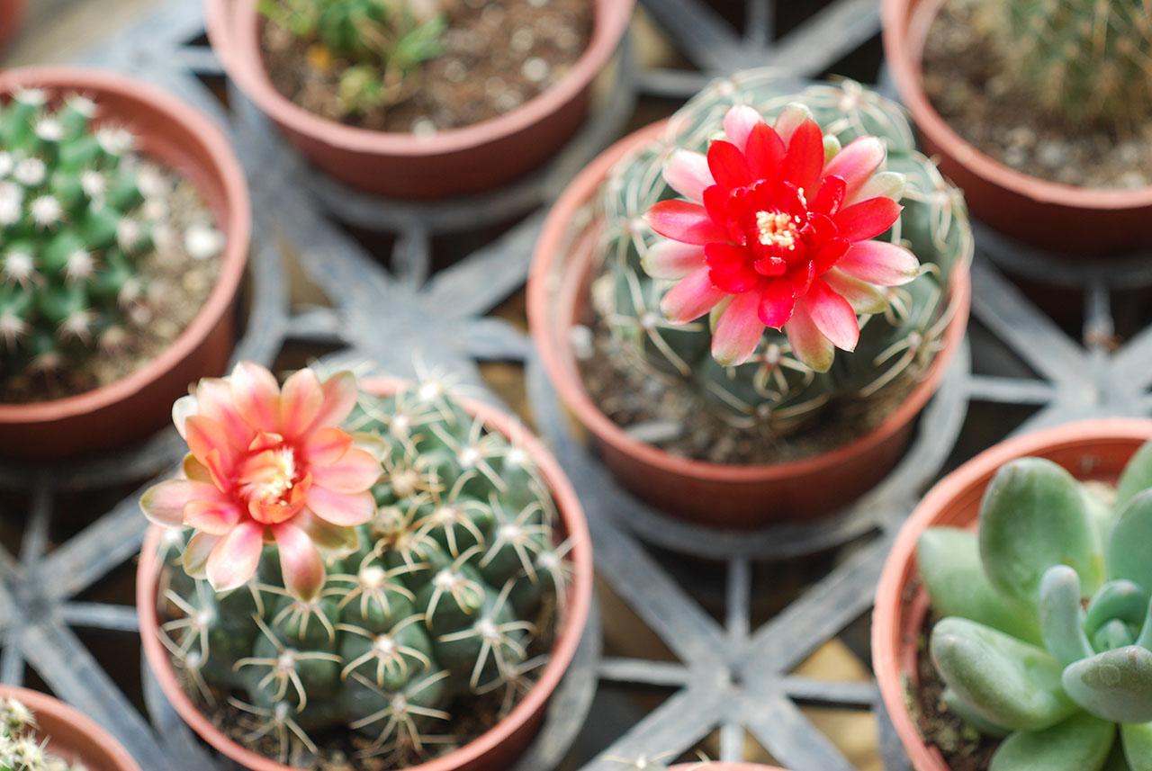 仙人掌緋花玉開花,特殊的艷紅色
