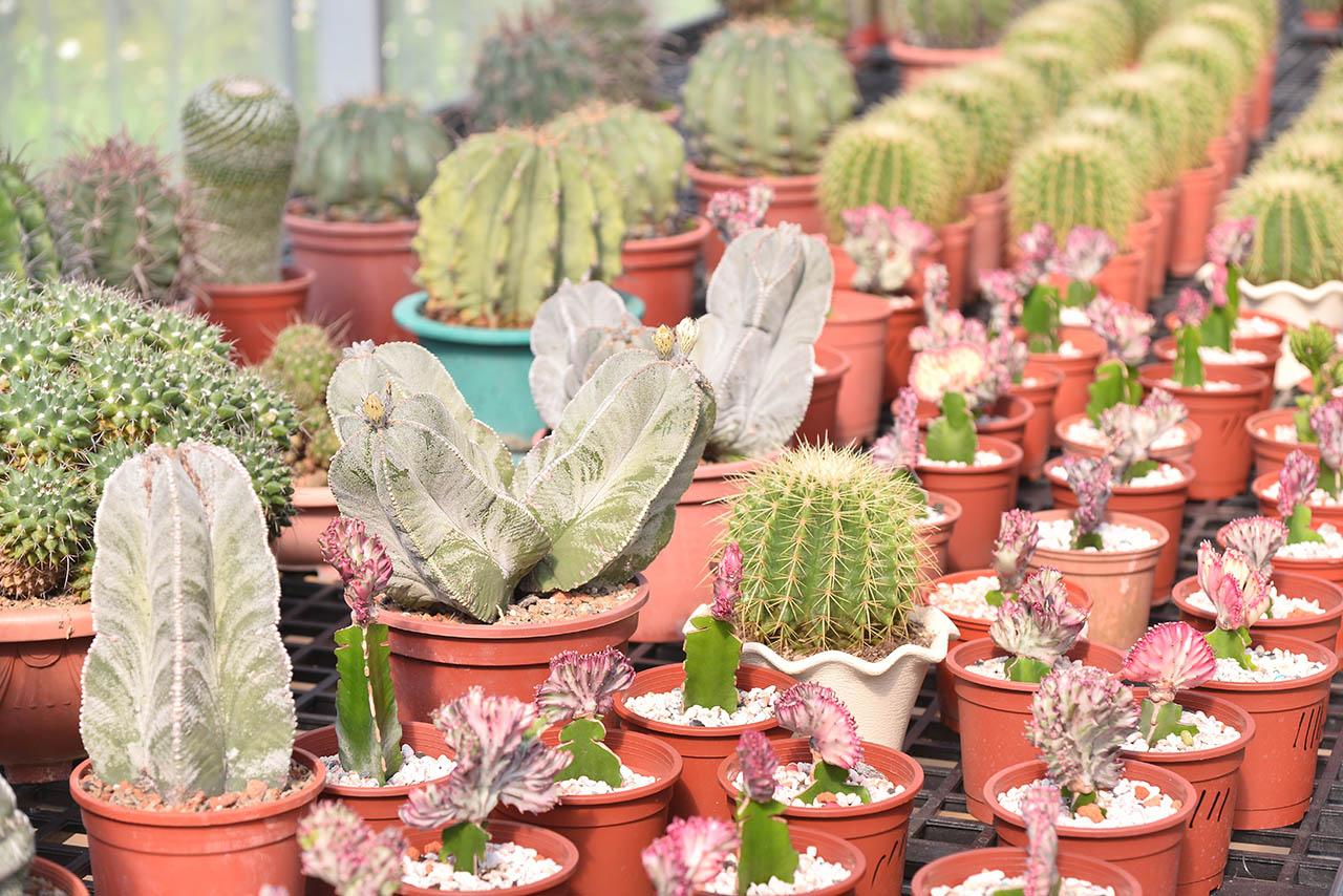 福祥仙人掌園可以說是全台灣最有名的多肉植物、仙人掌園區,在多肉植物的領域非常資深的嚴老闆所成立