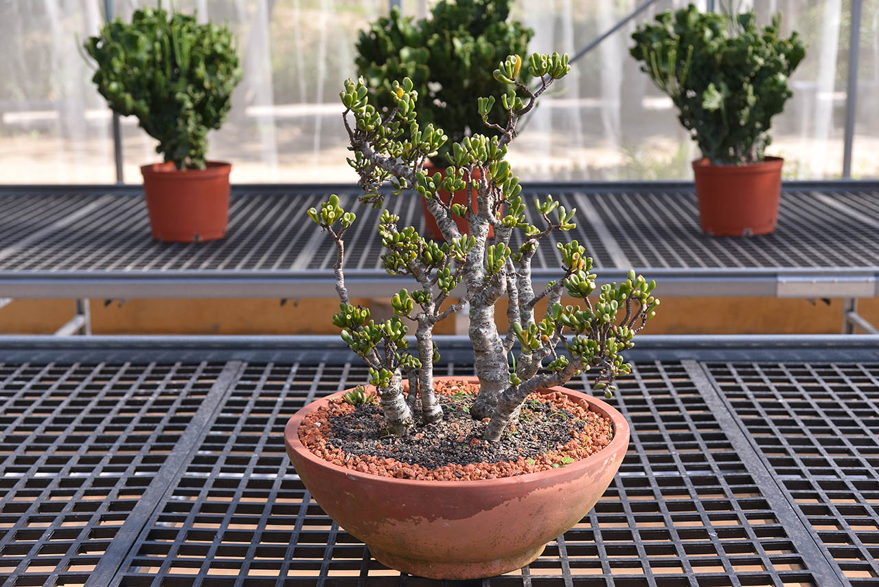 園內有許多多肉植物老叢盆栽可以觀賞選購,這些自有姿態的盆栽不管是送禮自用都滿合適的