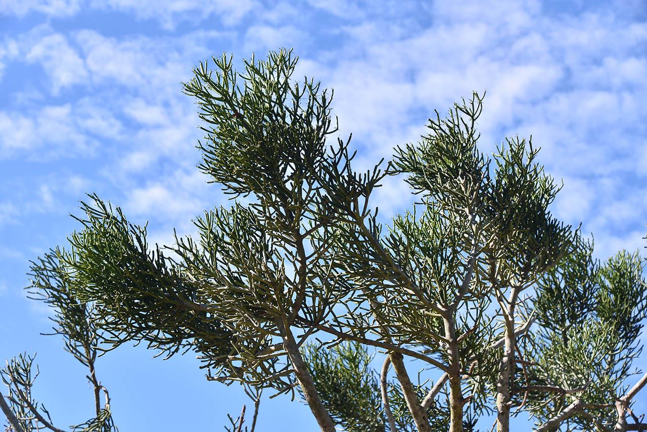有六十年歷史的綠珊瑚樹,非常壯觀的樹狀多肉植物