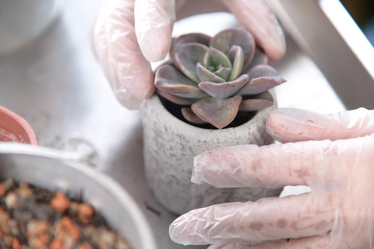荳荳多肉植物盆器-多肉植物專用土2 將多肉植物定位