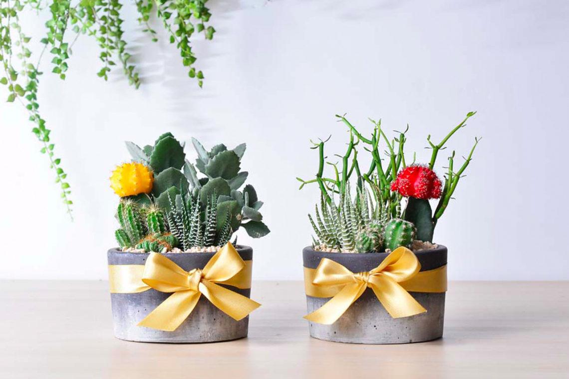 緋牡丹錦, 十二之卷, 千兔耳, 綠珊瑚多肉植物開店賀禮 開幕盆栽 開店禮品