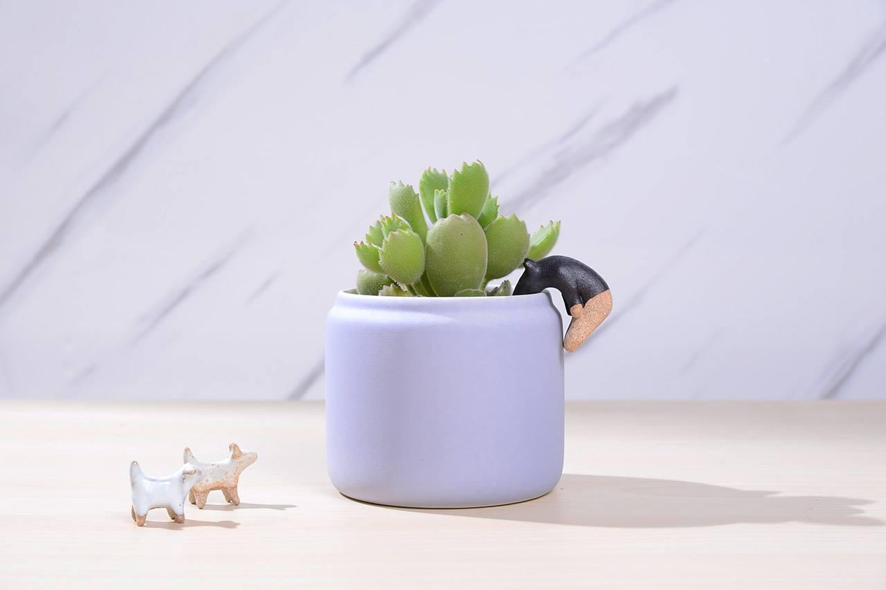 紫色-花盆-多肉植物-熊掌-陶器