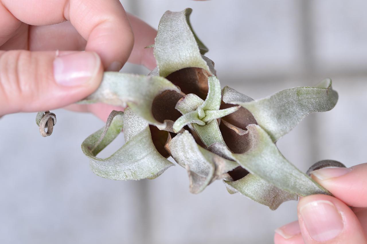 空氣鳳梨 電捲栽培四個月之後的模樣,側芽長出