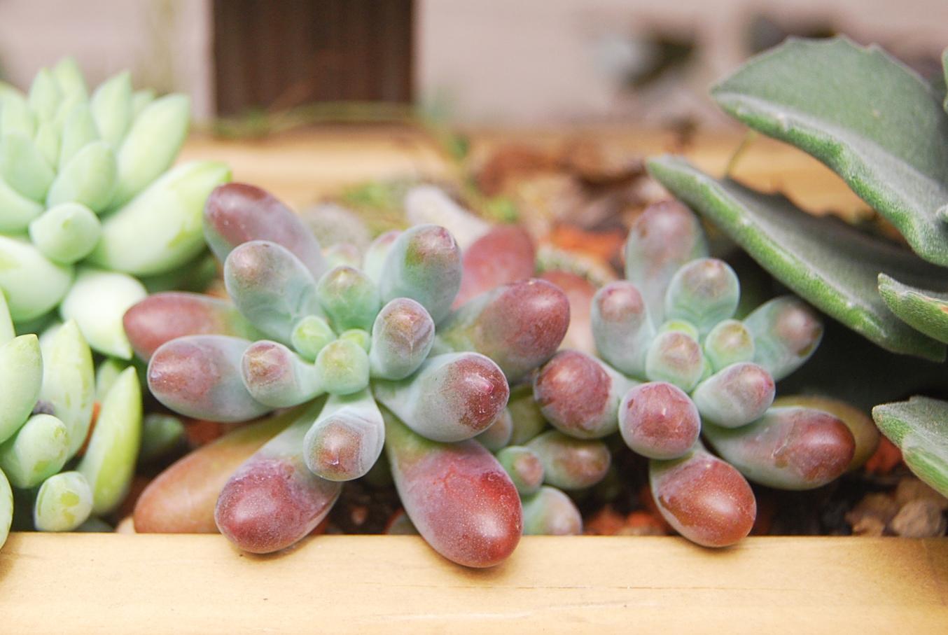 肥嫩如嬰兒手指般:乙女心 ( Jelly bean plant ) 1